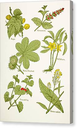 Medicinal Herbs And Plants. Clockwise Canvas Print by Vintage Design Pics