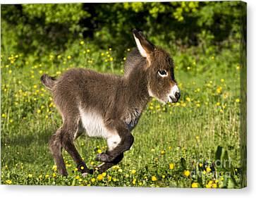 Miniature Donkey Foal Canvas Print by Jean-Louis Klein & Marie-Luce Hubert