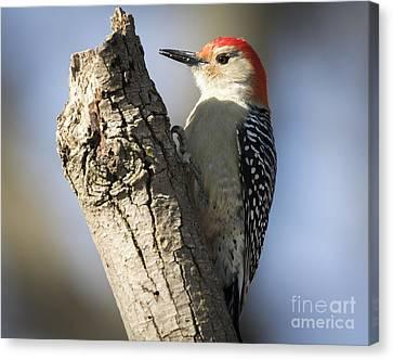 Red-bellied Woodpecker Canvas Print by Ricky L Jones