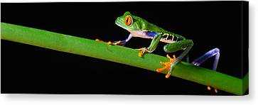 Red-eyed Tree Frog Agalychnis Canvas Print by Panoramic Images
