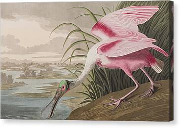 Spoonbill Canvas Print - Roseate Spoonbill by John James Audubon