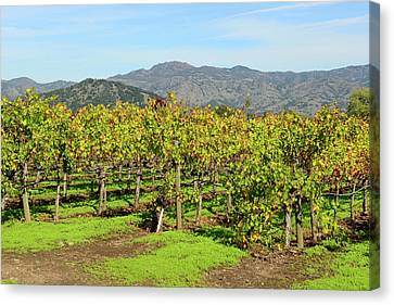Rows Of Grapevines In Napa Valley California Canvas Print by Brandon Bourdages