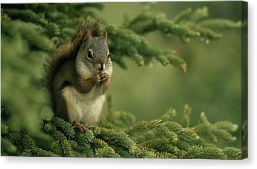 Squirrel                      Canvas Print by F S