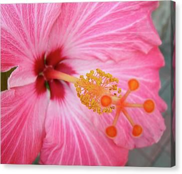 5 Star Hibiscus Canvas Print by Randy Rosenberger