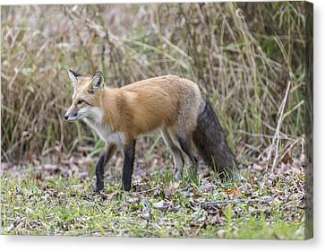 Wild Red Fox In The Wild Canvas Print by Josef Pittner