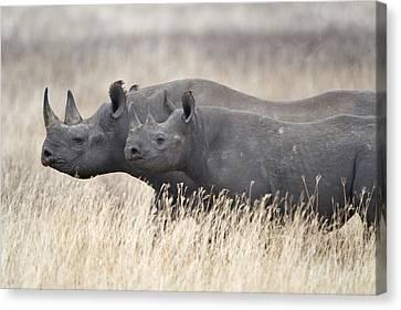 Black Rhinoceros Diceros Bicornis Canvas Print