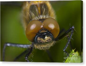 Downy Emerald Dragonfly Canvas Print by Steen Drozd Lund
