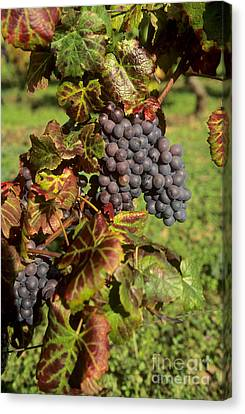 Grapes Growing On Vine Canvas Print