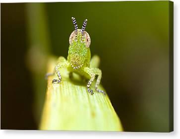 Grasshopper Canvas Print by Andre Goncalves