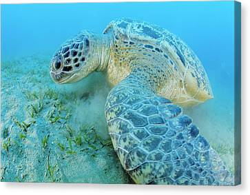 Long-lived Canvas Print - Green Sea Turtle by Alexis Rosenfeld