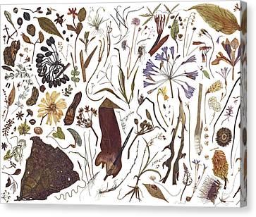 Herbarium Specimen Canvas Print by Rachel Pedder-Smith