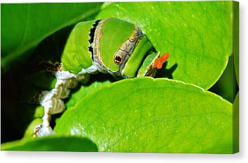 King Page Swallowtail  Caterpillar Canvas Print by Werner Lehmann