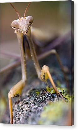 Mantis Canvas Print by Andre Goncalves