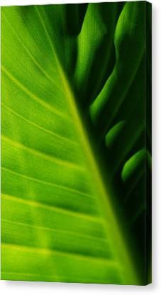 new Banana leaf Canvas Print by Werner Lehmann