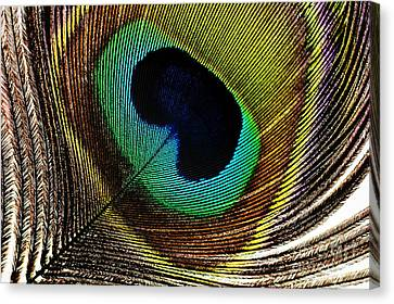 Peacock Feathers Canvas Print by Mary Van de Ven - Printscapes