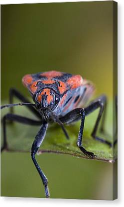 Bug Canvas Print by Andre Goncalves