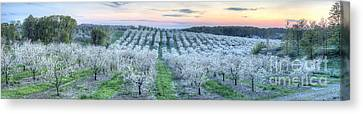 Cherry Blossoms In Traverse City Canvas Print
