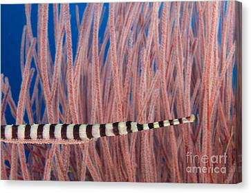 Malaysia, Marine Life Canvas Print by Dave Fleetham - Printscapes