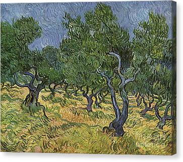 Olive Orchard Canvas Print by Vincent Van Gogh