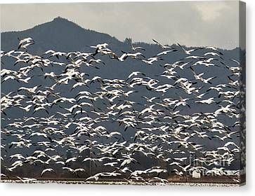 Snow Geese Migration Canvas Print by Jim Corwin