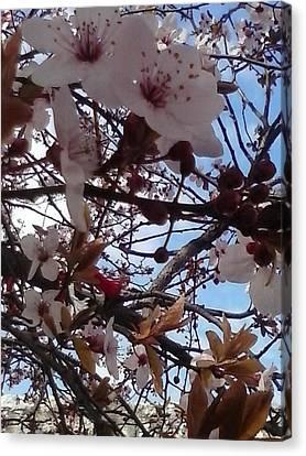 Spring Edition Flowering Tree Canvas Print by Aleksandra Pomorisac