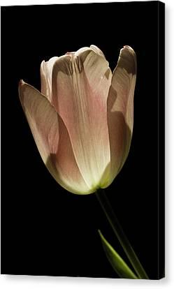 768 Tulip Canvas Print by Ralph Klein