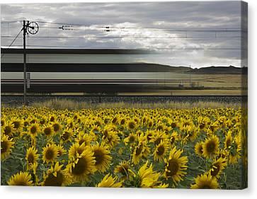78 Sunflowers Canvas Print by Kike Balenzategui