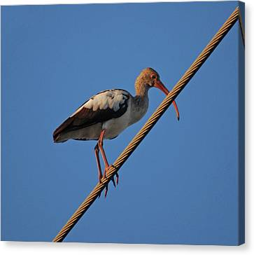 Canvas Print featuring the photograph 8- Brown Ibis by Joseph Keane