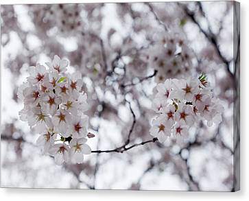 Cherry Blossoms Canvas Print by Robert Ullmann