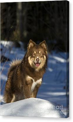 Finnish Lapphund Canvas Print by Jean-Louis Klein & Marie-Luce Hubert