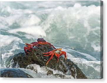 Sally Lightfoot Crab On Galapagos Islands Canvas Print by Marek Poplawski