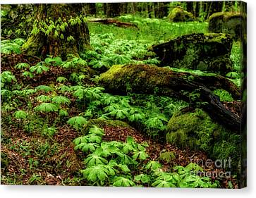 Spring Monongahela National Forest Canvas Print by Thomas R Fletcher