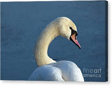 Swan Portrait Canvas Print