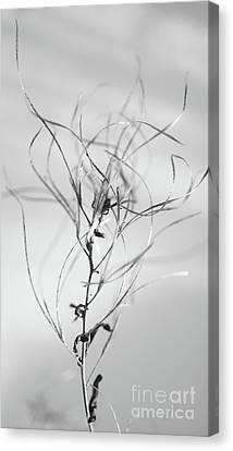 Untitled Canvas Print by Gabriela Insuratelu
