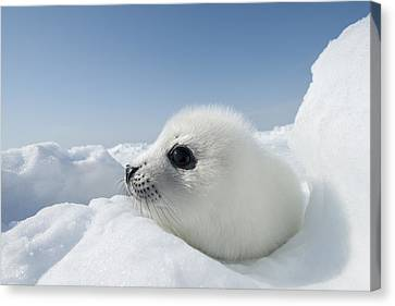 Whitecoat Harp Seal Pup Canvas Print by Daisy Gilardini