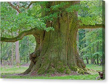 800 Years Old Oak Tree  Canvas Print by Heiko Koehrer-Wagner