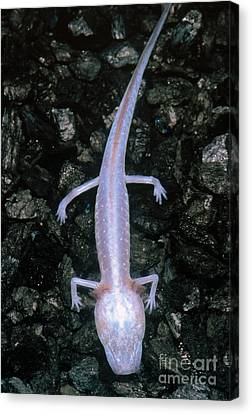Austin Blind Salamander Canvas Print by Dante Fenolio