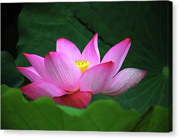 Blossoming Lotus Flower Closeup Canvas Print by Carl Ning