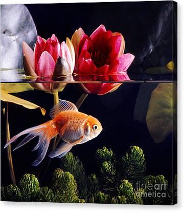 Goldfish Canvas Print by Jane Burton