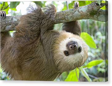 Hoffmanns Two-toed Sloth Choloepus Canvas Print
