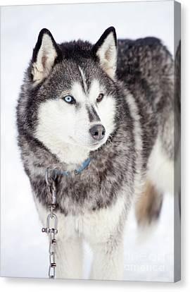 Husky Canvas Print - Huskies by Kati Finell