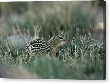 Henry Doorly Zoo Canvas Print - A 13-lined Ground Squirrel At The Henry by Joel Sartore