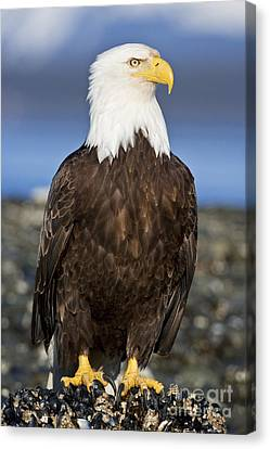 A Bald Eagle Canvas Print by John Hyde - Printscapes