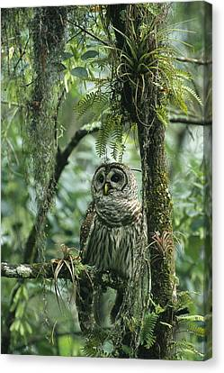 A Barred Owl Perches On A Tree Branch Canvas Print by Klaus Nigge
