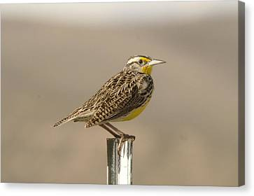 A Beautiful Meadowlark Canvas Print by Jeff Swan