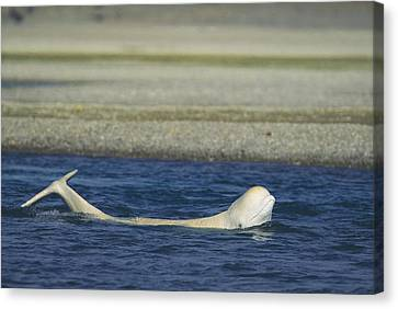 A Beluga Whale Lifts Head And Tail Canvas Print by Norbert Rosing