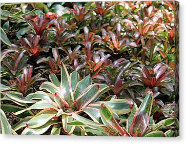 A Bevy Of Bromeliads Canvas Print by Suzanne Gaff