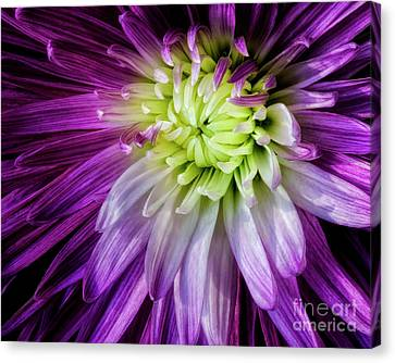 A Bloom's Unfolding Canvas Print by Madonna Martin