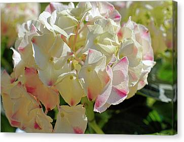 Canvas Print featuring the photograph A Blush Of Pink by Cricket Hackmann
