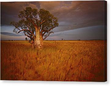 A Boab Tree Stands Solitary In The Bush Canvas Print by Sam Abell